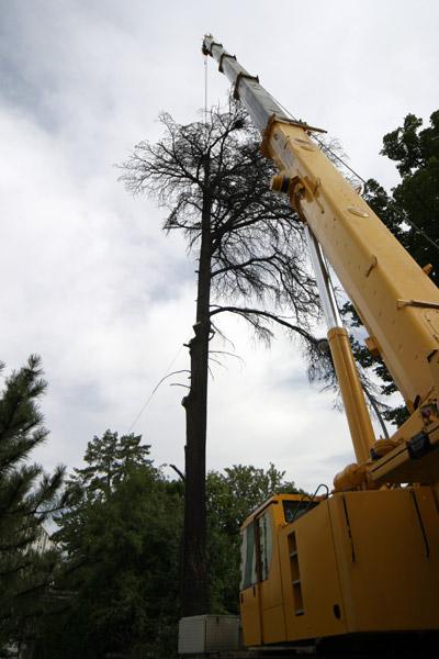 Abattage d'un cèdre à l'aide d'une grue - Gap 2004